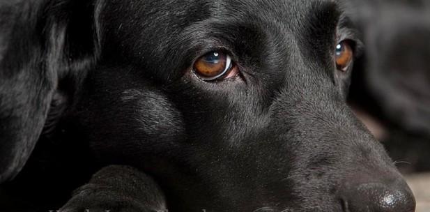schön - schwarz - anmutig so sieht der Labrador - der hier das Coverbild des Hunde Luxus Shop ziert aus.